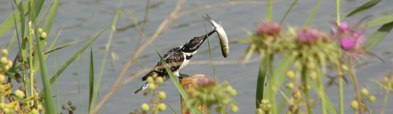 ציפור עם דג, רשות נחל הקישון